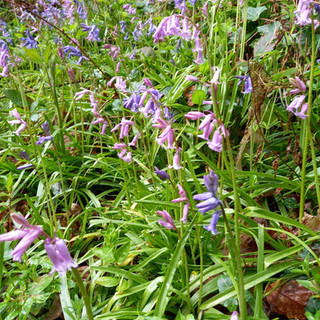 Bluebells in the Dell on 12 May 2021