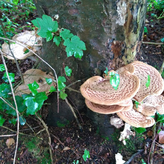 Dryad's Saddle in the Dell