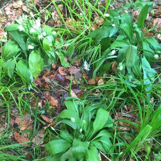 Wild garlic in the Dell