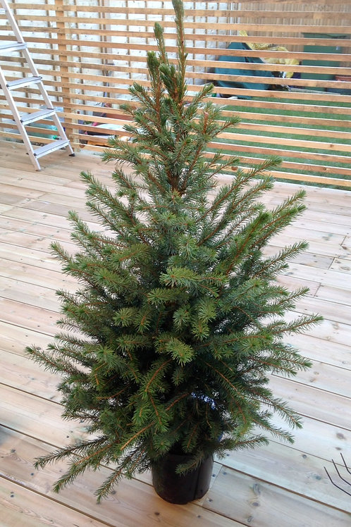 Potted Serbian Spruce (Picea Omorika) 3ft