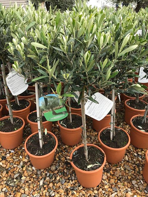 2 x Standard Olive Tree