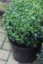 We supply shrubs,buxus balls and bamboo are the popular ones!