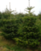 We sell christmas trees and deliver them in brighton & hove.