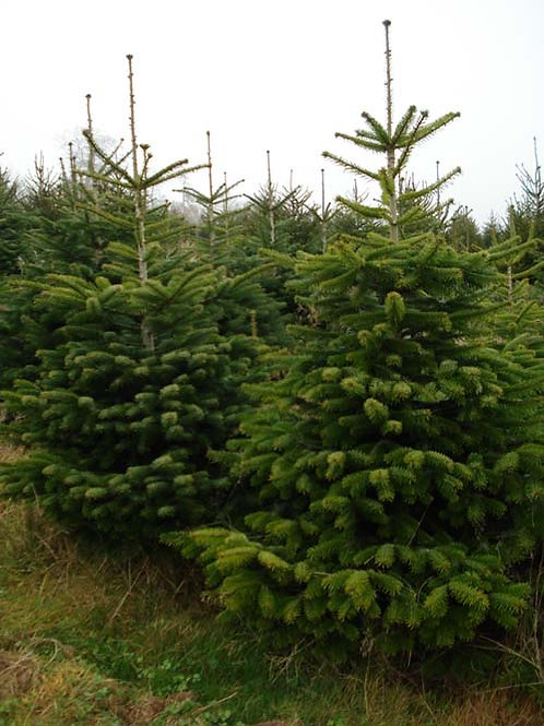 Cut Nordmann Fir 8ft