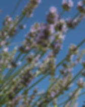 buy our lavender plants, we supply perennial plants