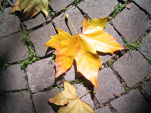 Yellow maple leaves on pavers