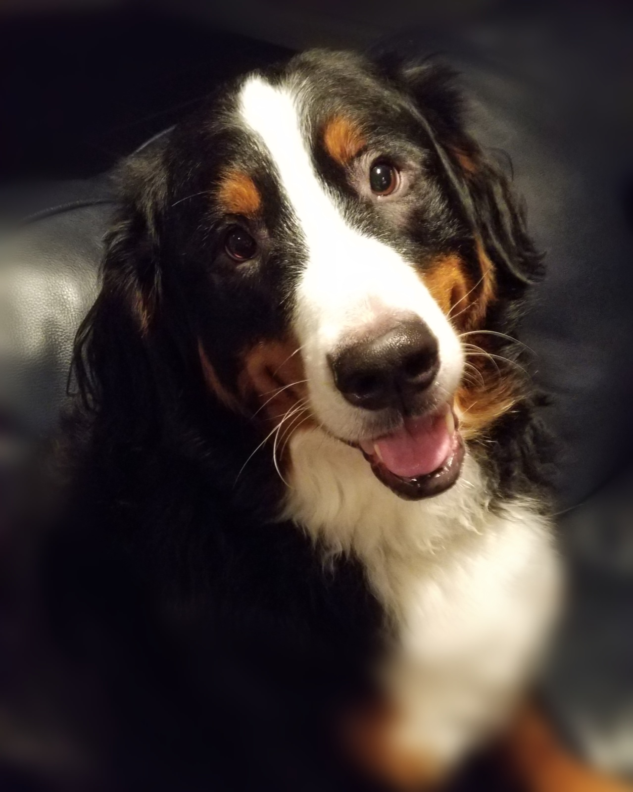 The ABC's of the Bernese: Affectionate, Beautiful and Colorful