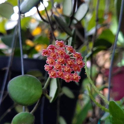 Hoya bilobata(Rooted Cutting, one node)