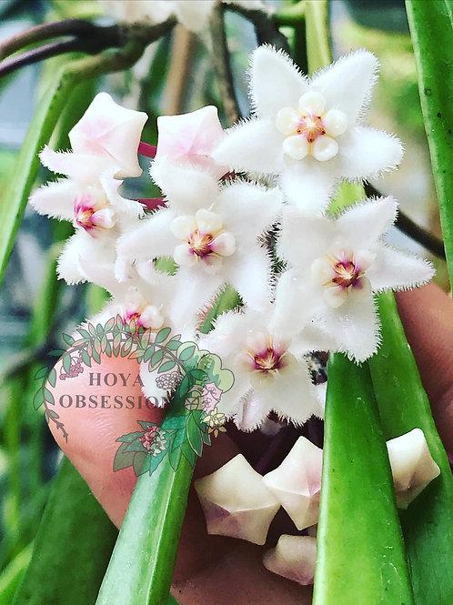Hoya longifolia ~ bigger plant