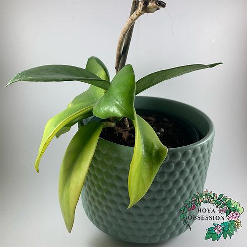 Hoya arnotianna