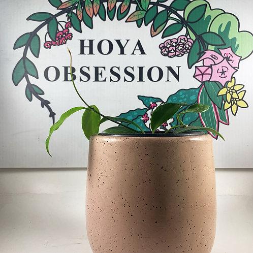 Hoya diptera - small plant
