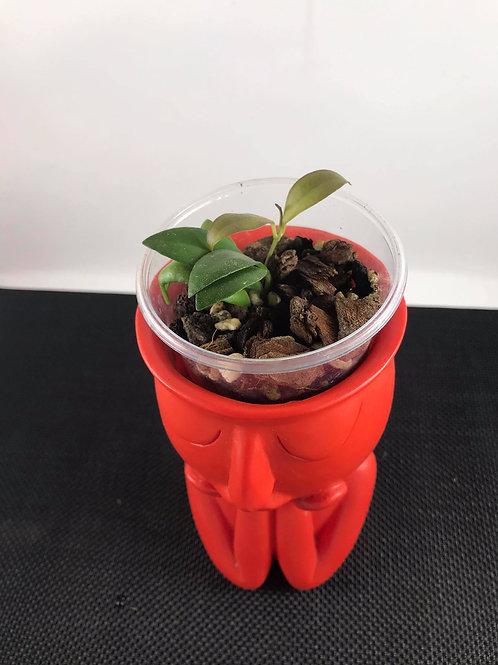 Hoya bilobata(Rooted Cutting, two nodes)