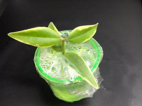 "Hoya lanceolata ssp. bella var. ""Lida Buis"" -Rooted Cutting"