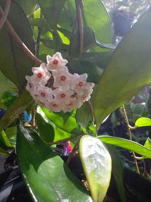 Hoya dasyantha - Unrooted cutting