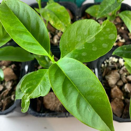 "Hoya multiflora also known as  ""Shooting Star"" Hoya"