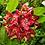Thumbnail: Hoya affinis