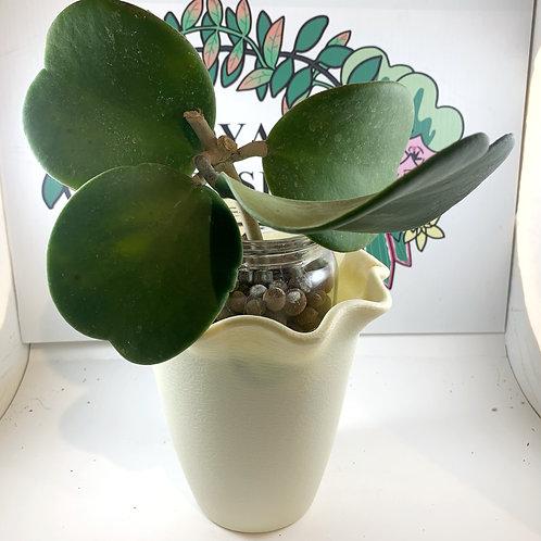 Hoya kerrii (Huge Leaves)