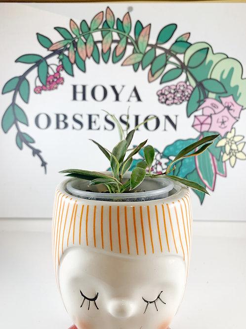 Hoya tsangii albomarginata ~ unrooted