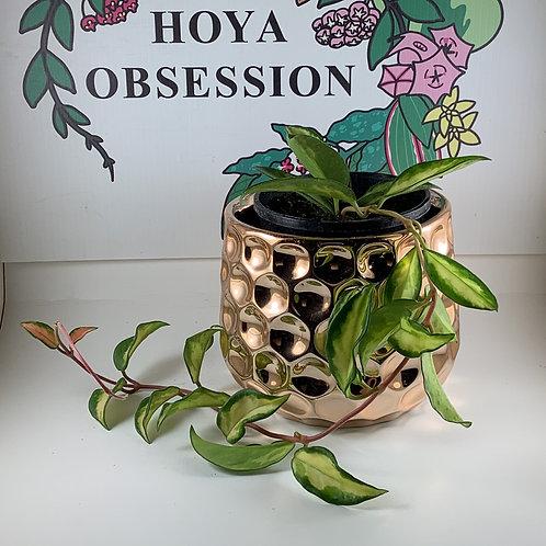 Hoya carnosa 'Krimson Princess' - Exotica Variety
