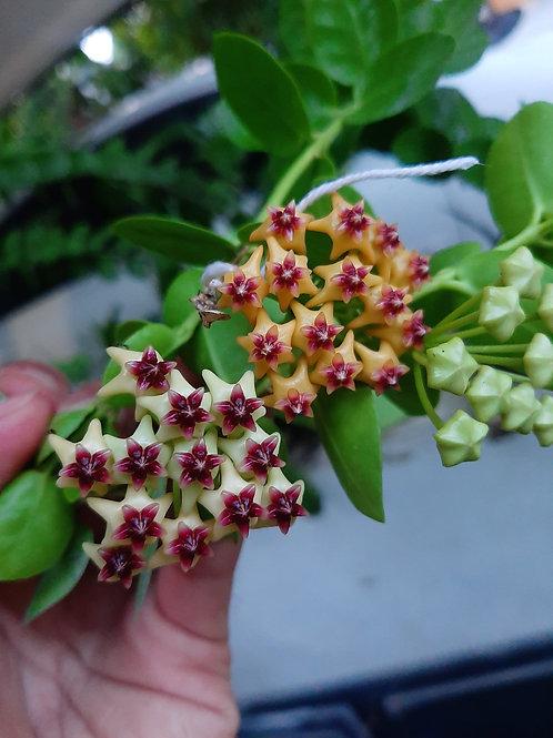 Hoya cumingiana (Full seedling)