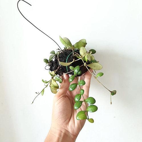 Hoya bilobata (Unrooted Cutting)