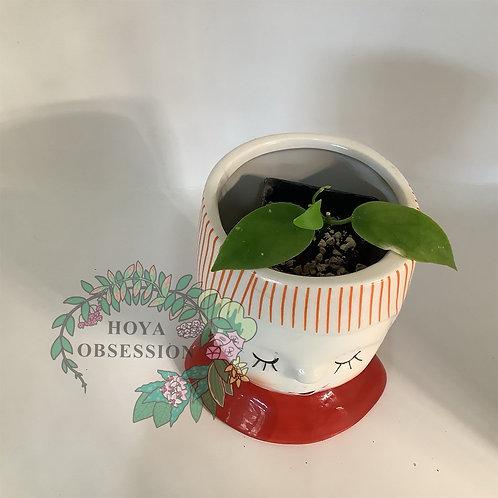 Hoya diptera - rooted cutting