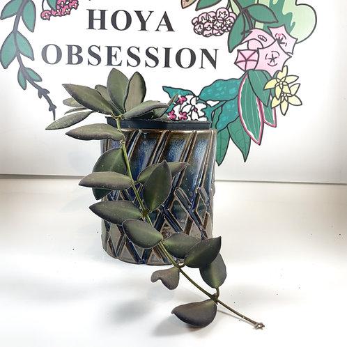 Hoya sp. aff. burtoniae -Fresh Cutting