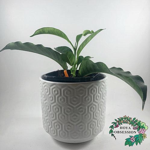 Hoya multiflora- Rooted cutting