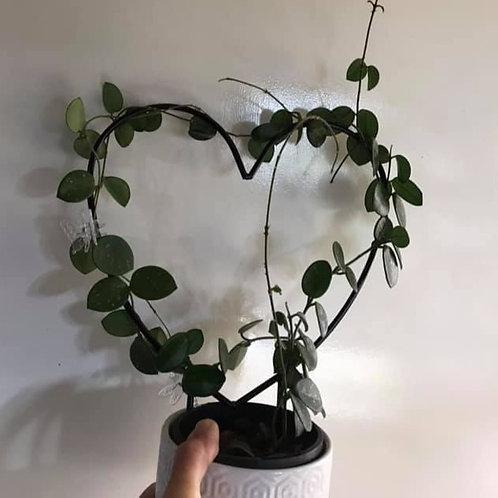 Hoya cv 'Mathilde' - unrooted cutting, one node