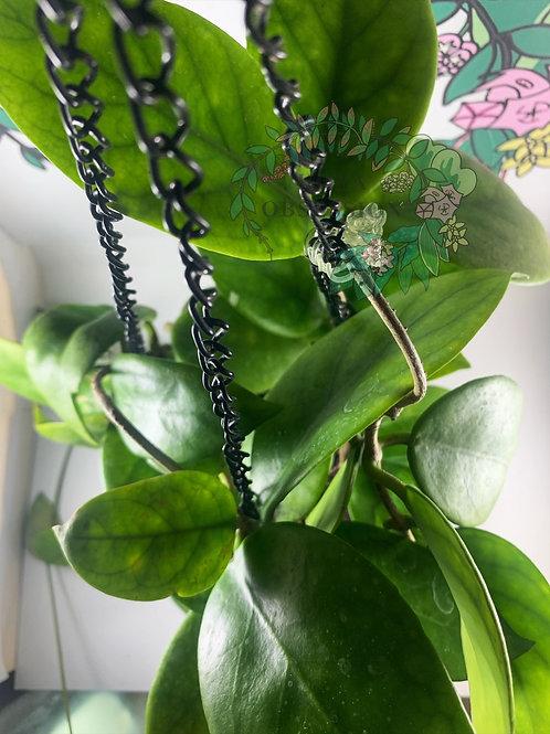 Hoya arnottiana - fresh cutting