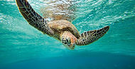 go bareboating and meet the turtles that are abundant in the whitsundays