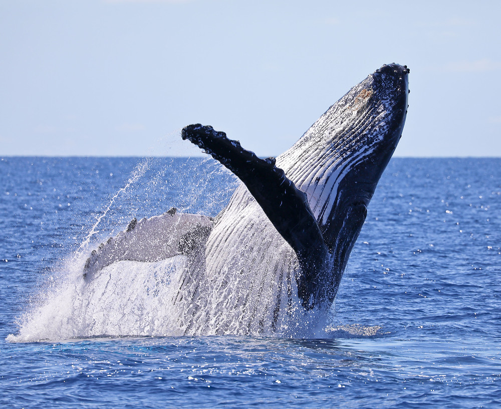 Humpback whales of the Whitsundays
