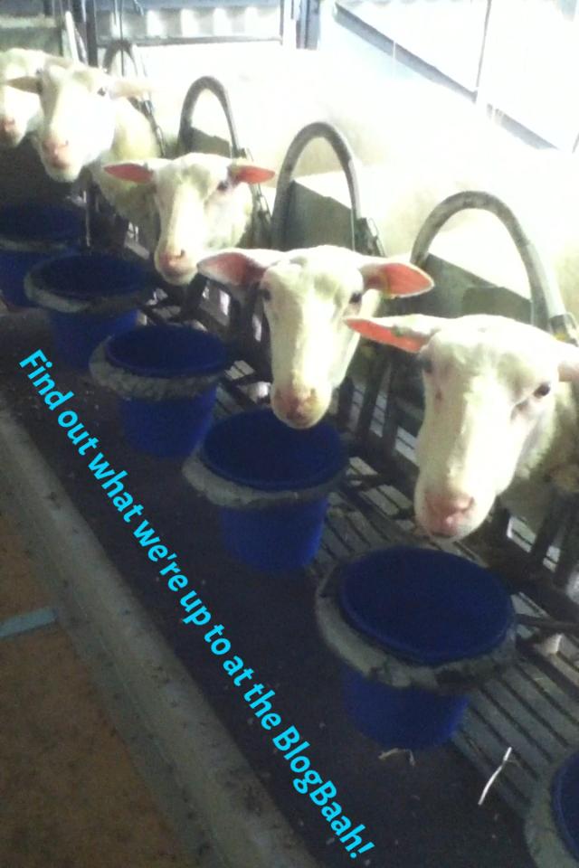 Sheep dairy parlour 2014-9-21-13:6:21