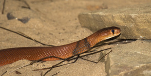 Red Spitting Cobra (Photo by R Wilson)