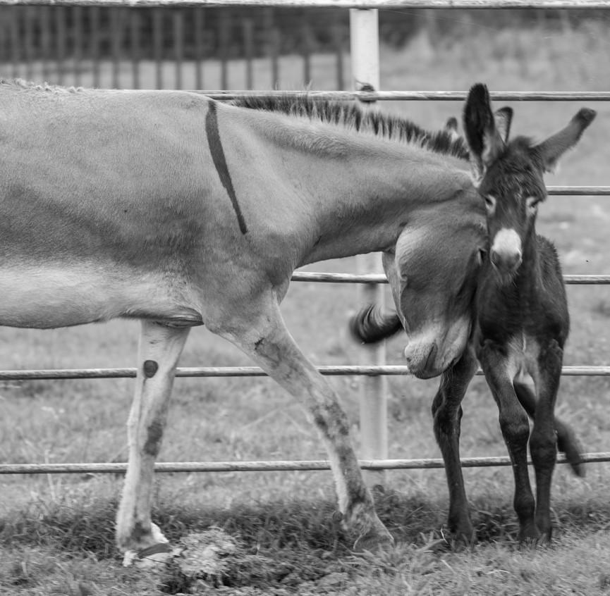 Mule Farm