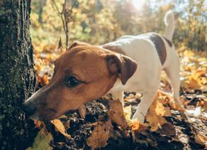 Węszenie podnosi poziom optymizmu psów