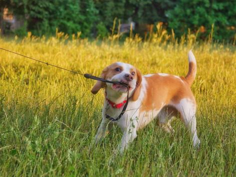 Szelki, czy obroża? Smycz krótka czy długa? Jak wyposażyć psa na spacer.