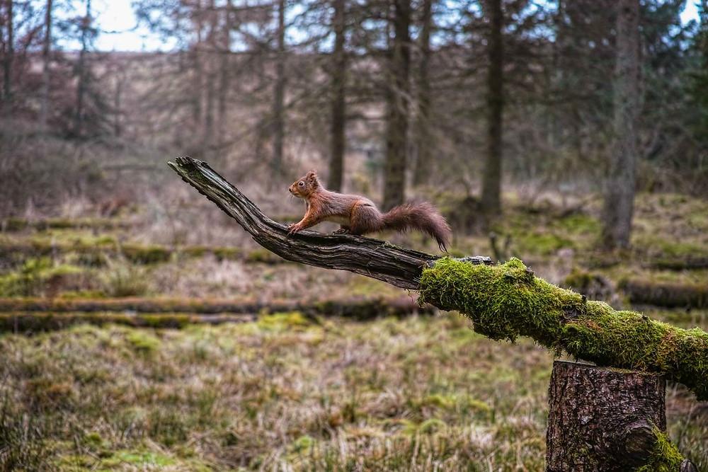 Red Squirrel   Sigma DP3 Merrill   www.richardjwalls.com