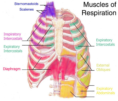 muscles-of-respiration.jpg