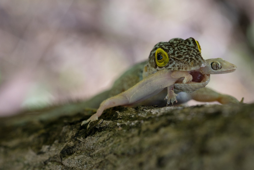 """Uh oh, gecko"" (c) Paul S. Hamilton, 2015 for The Biodiversity Group"