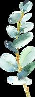 Eucalyptus_011.png