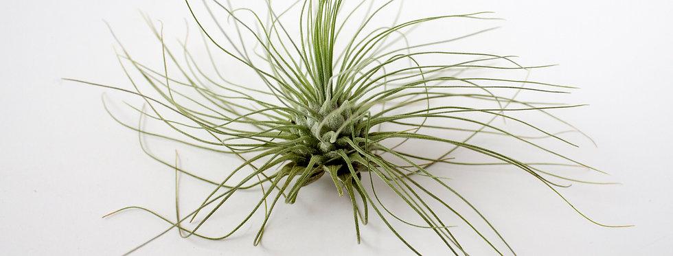 Thin Leaf Argentea airplant