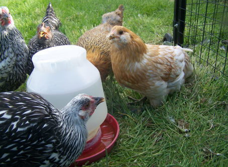 Keeping Your Chickens Cool