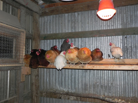 Keeping A Chicken Coop Happy During The Winter