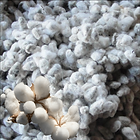 Cotton-Seeds.png