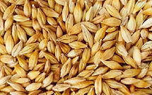 BarleyGrains.jpg