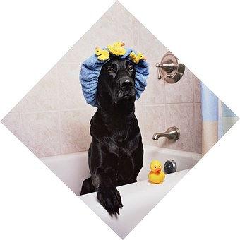 Great Dane, dog washing, pertth great danes