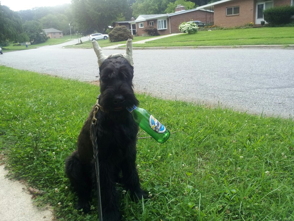 Giant Schnauzer puppy - Ruby