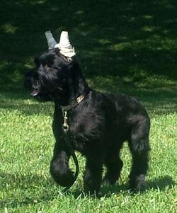 Giant Schnauzer puppy - Ruby