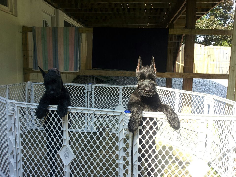 Giant Schnauzer puppes